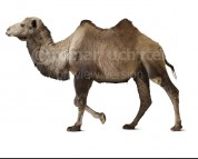 Camelus knoblochi (white background)
