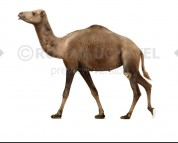 Camelops (white background)