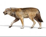 Canis dirus (white background)