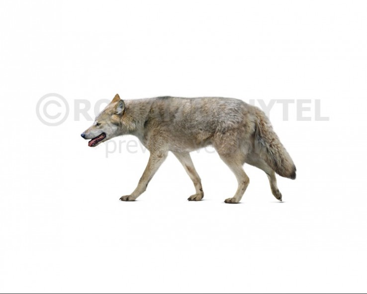 Mosbach wolf (white background)