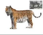 Caspian tiger (white background)