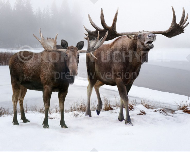Broad-fronted moose (size comparison)