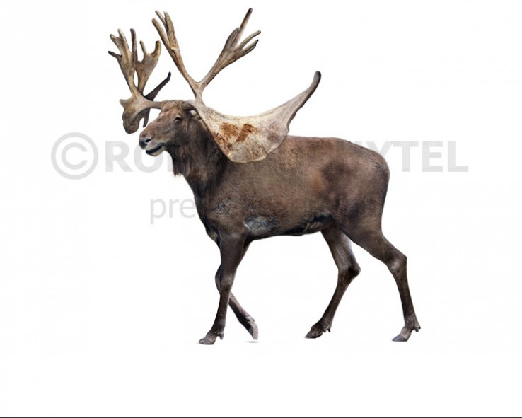 Stag-moose (white background)