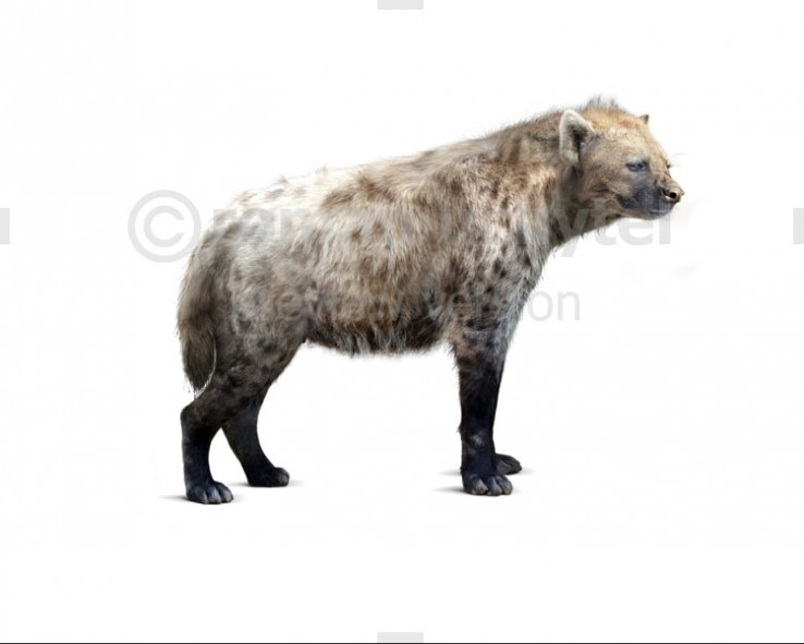 Cave hyena (white background)