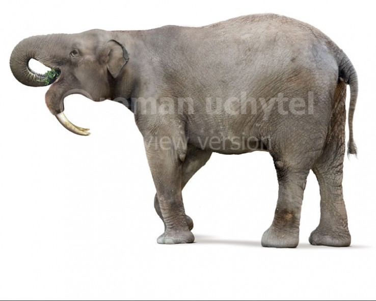 Deinotherium thraceiensis (white background)