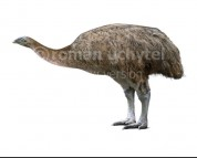 North Island giant moa (white background)
