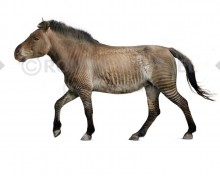 Equus scotti (white background)