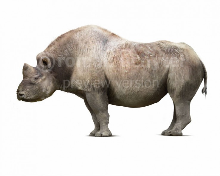 Elasmotherium caucasicum (white background)