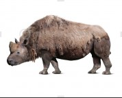 Elasmotherium sibiricum (white background)