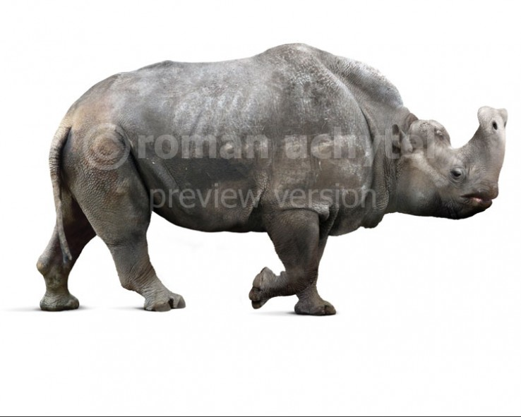 Embolotherium ergilense (white background)