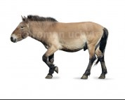 Equus latipes (white background)