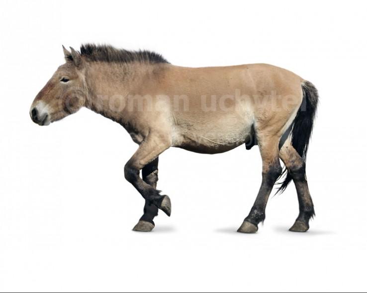 Equus latipes (white background)