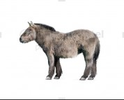 Pleistocene siberian horse (white background)