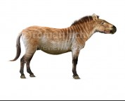 Hagerman horse (white background)