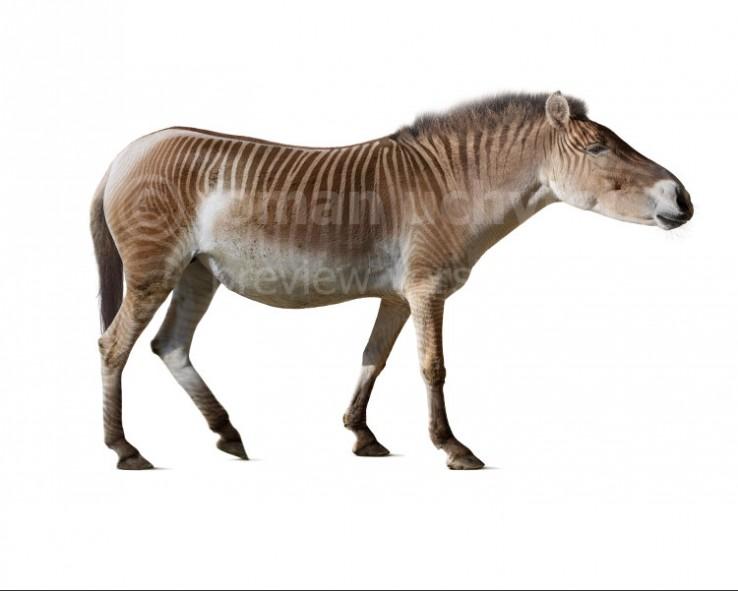 Equus stenonis (white background)