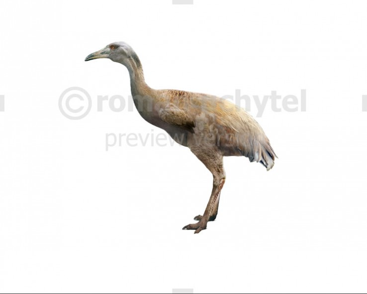 Ergilornis (white background)