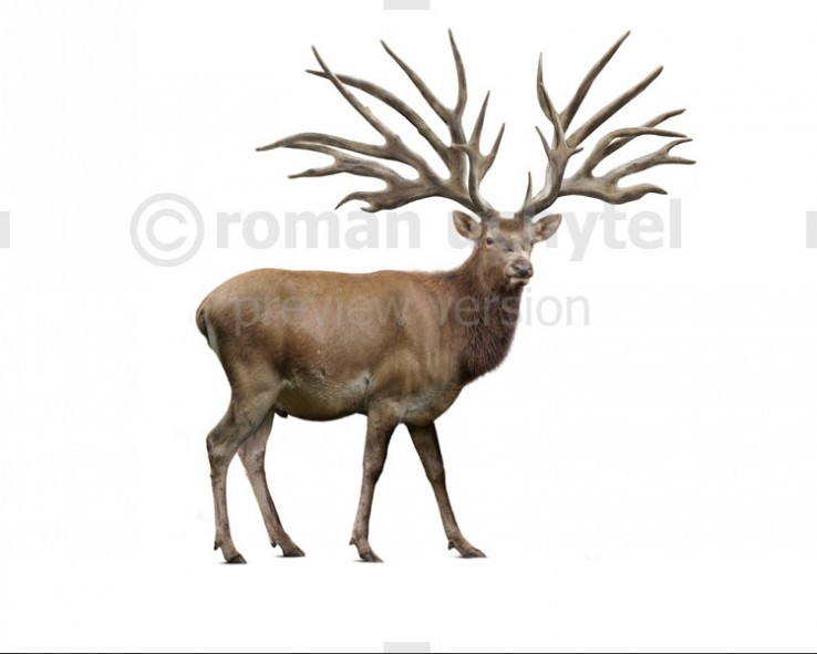 Eucladoceros (white background)