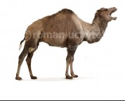 Gigantocamelus (white background)