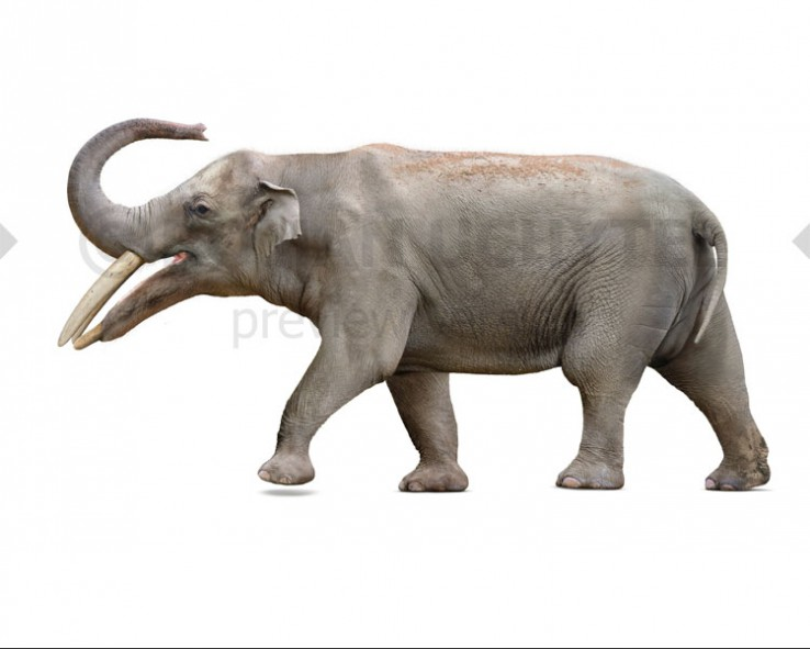 Gomphotherium productum (white background)