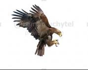 Haast's eagle (white background)