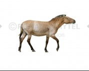 Hipparion (white background)