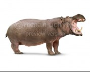 Hippopotamus gorgops (white background)