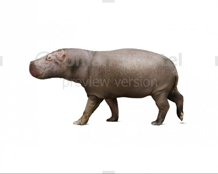 Hippopotamus minor (white background)