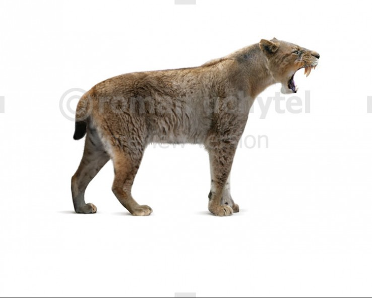 Homotherium crenatidens (white background)
