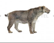 Homotherium latidens (white background)