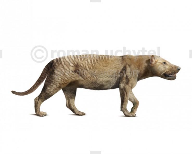Hyaenaelurus sulzeri (white background)