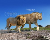 Panthera atrox and Panthera leo (size comparison)