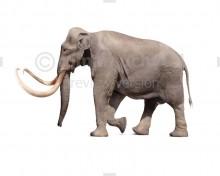 Columbian Mammoth (white background)