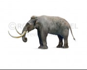 Pygmy mammoth (white background)
