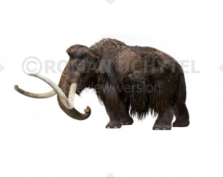 Woolly Mammoth from Wrangel Island (white background)
