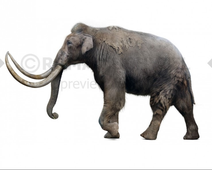 Steppe mammoth (white background)