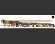 Modern Big Cats. Height and weight