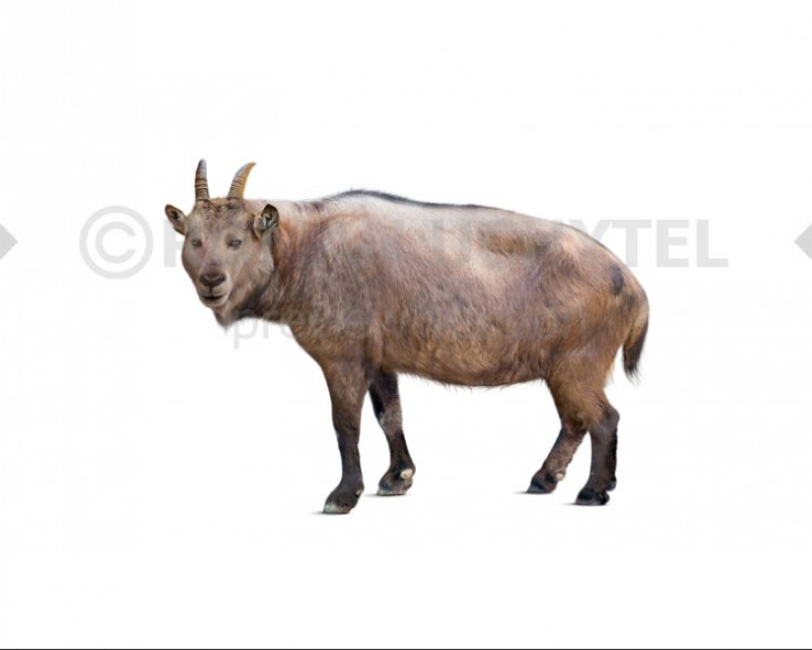 Balearic Islands cave goat (white background)