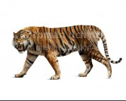 Ngandong tiger (white background)