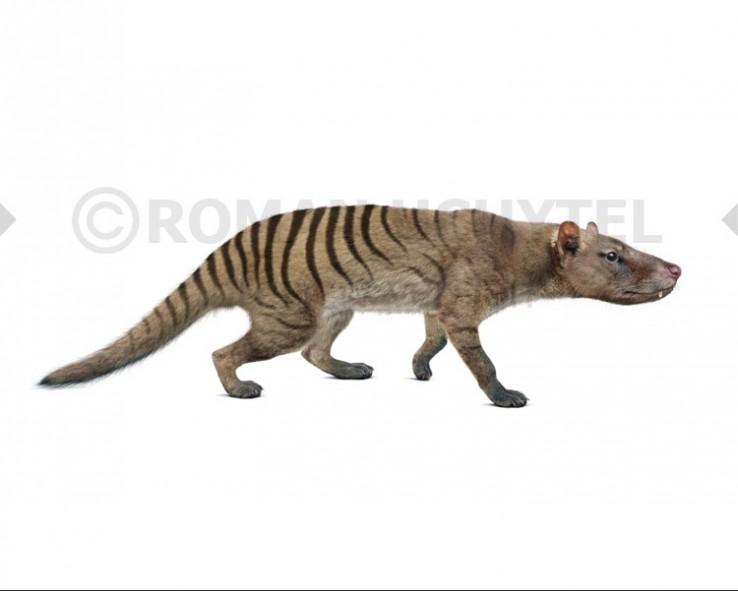 Nimbacinus dicksoni (white background)
