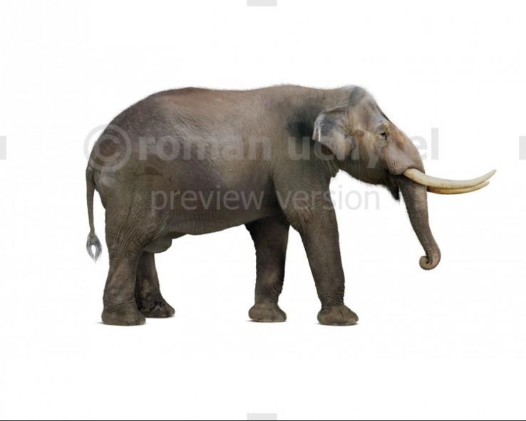 Notiomastodon (white background)