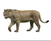 Panthera fossilis (white background)