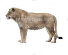 Panthera spelaea vereshchagini (white background)