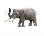 Cyprus dwarf elephant (white background)