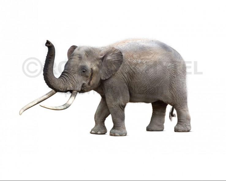 Cyprus dwarf elephant (white background)