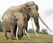 Asian straight-tusked elephant and African savanna elephant