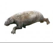 Paleoparadoxia tabatai