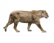 Panthera fossilis (white background)