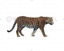 Panthera onca mesembrina (white background)