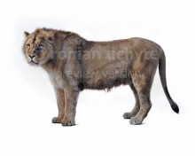 Panthera spelaea (white background)
