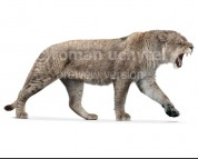 Panthera spelaea (white background)
